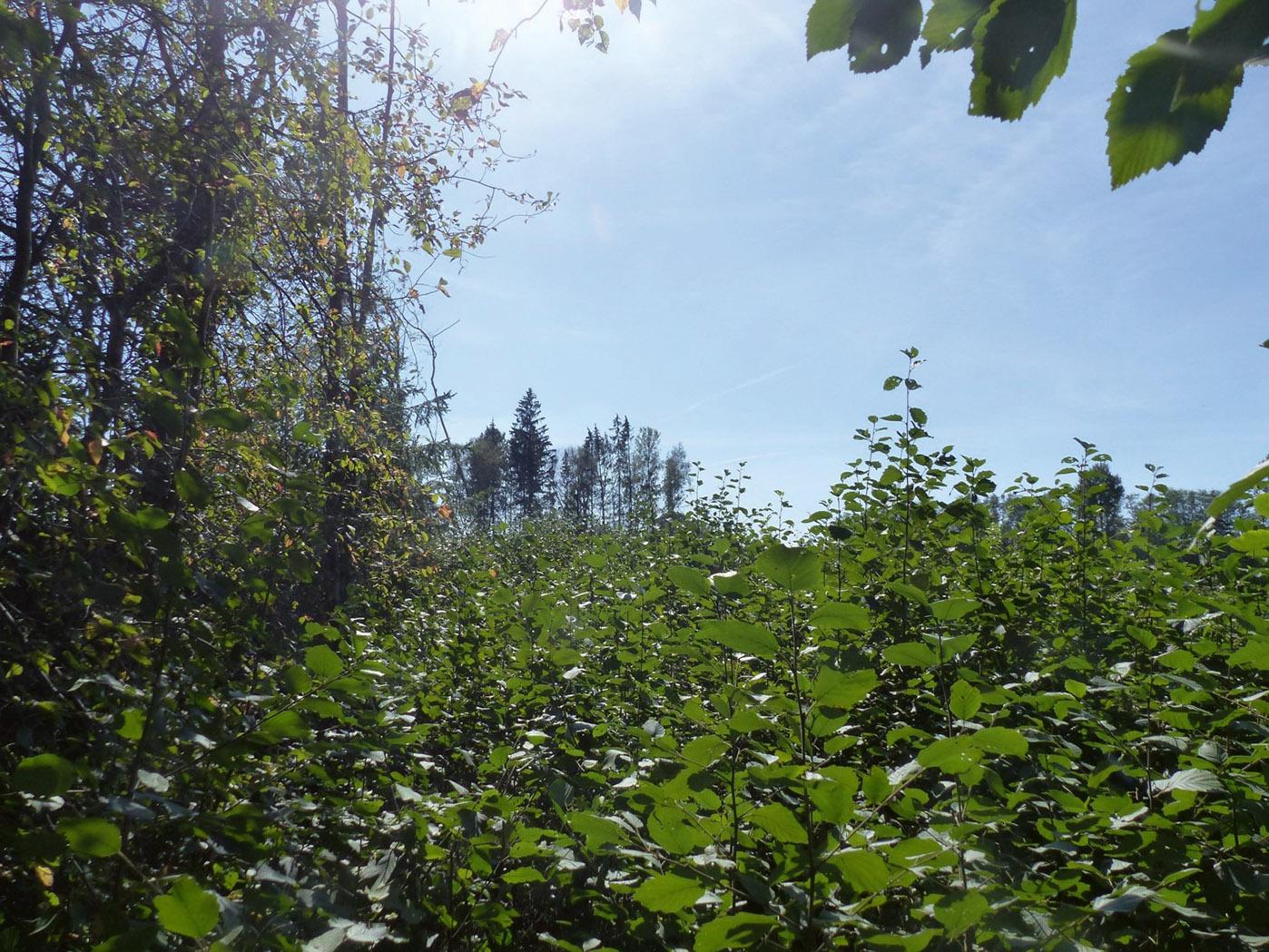 7. attēls. Ligzda atrasta jau ciršanai sagatavotā mežā, un ligzdas koks nebija izzīmēts kā atstājams. VMDinformēja, ka izsniegts ciršanas apliecinājums, un šī iemesla dēļ mikrolieguma pieteikums nav iesniegts. Pēc VMD iejaukšanās ap ligzdu izzīmēta atstājamo koku grupa. 31.08.2019. konstatēts, ka ligzdas nogabals ir nozāģēts un ligzda nav apdzīvota (ligzdas koks atrodas koku grupā, kas redzama attēla centrālajā daļā). | Foto: Imants Jakovļevs