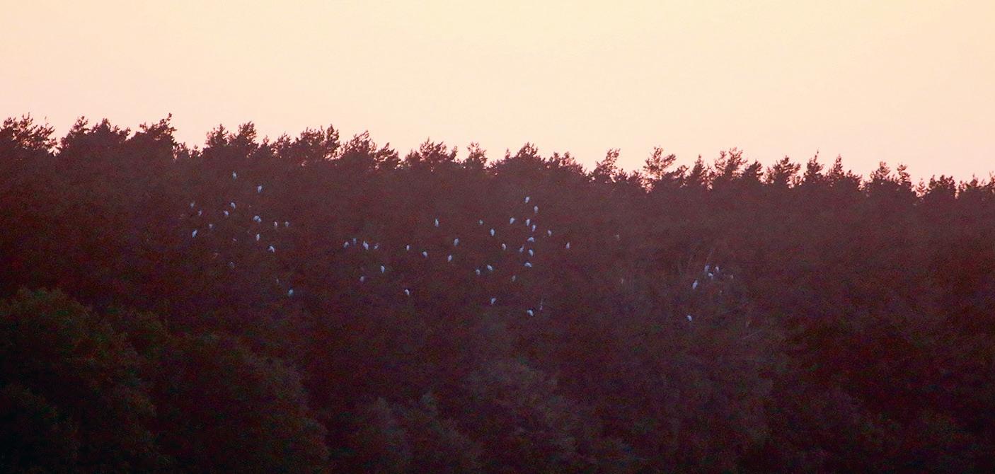 Baltie gārņi uz nakšņošanu pulcējas kokos, kur ir labi saskaitāmi pat krēslā. Foto: Ruslans Matrozis