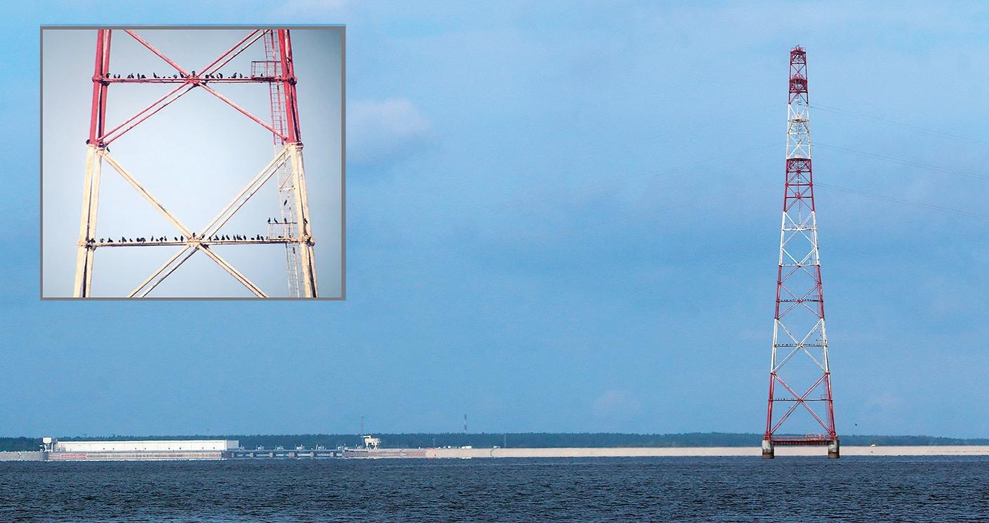 Daugavas lejtecē pie Rīgas HES ziemojošie jūras kraukļi pulcējas uz nakšņošanu kokos vai uz augstsprieguma līnijas staba Daugavā pie Salaspils. Foto: Ruslans Matrozis