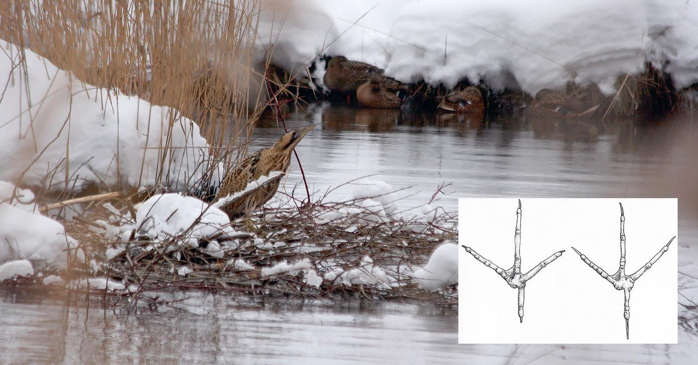 Dārziņu attekā ziemojošs lielais dumpis. Pēdu salīdzinājums – zivju gārnis (pa kreisi) un lielais dumpis (pa labi) (pēc Voisin, 1991). Baltā gārņa un zivju gārņa pēdas atšķirt nevar. Foto: Ruslans Matrozis