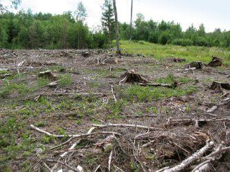 3. attēls. Mikrolieguma izveidošanu šajā vietā VMD atteica, pamatojot to ar meža īpašnieka sociāli ekonomiskajām interesēm. 14.07.2019. konstatēts, ka ligzdas nogabals (ieskaitot ligzdas koku) ir nocirsts.     Foto: HelmutsHofmanis