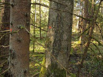 8. attēls. Ligzdas nogabals sagatavots mežizstrādei, ligzdas koks (bērzs) nav izzīmēts kā atstājams. Ligzda ir labi redzama. 04.05.2018.   Foto: Jānis Ķuze
